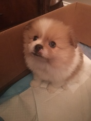 Pominese Puppy For Sale in WATERFORD, MI