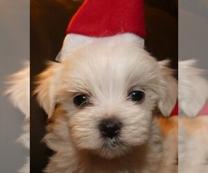 Maltese Puppy for Sale in MOMEYER, North Carolina USA