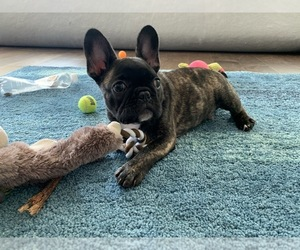 French Bulldog Puppy for sale in LITTLE ROCK, AR, USA