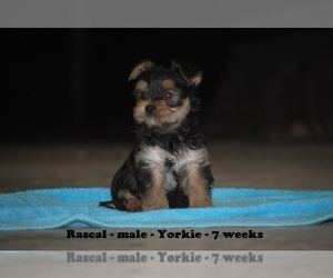 Yorkshire Terrier Puppy for sale in CLARKRANGE, TN, USA
