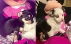Adorable CKC Tea Cup Chihuahuas