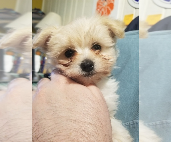 Medium Photo #1 Pom-A-Nauze Puppy For Sale in CANBY, OR, USA