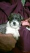 Schnauzer (Miniature) Puppy For Sale in ORE CITY, TX, USA