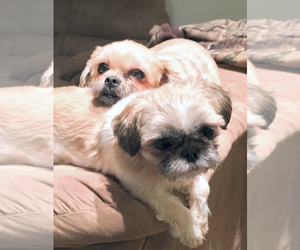 Shih Tzu-Shorkie Tzu Mix Dog for Adoption in GRANITE QRY, North Carolina USA