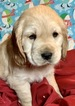 Golden Cocker Retriever Puppy For Sale in MORGANTOWN, IN, USA