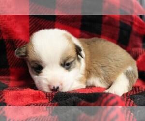 Pembroke Welsh Corgi Puppy for sale in ORONOGO, MO, USA