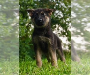 German Shepherd Dog Puppy for Sale in WARSAW, Indiana USA