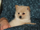 Paperanian Puppy For Sale in MENDON, MI