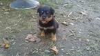 Halloween AKC German Bloodline Rottweiler Puppy039s