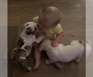 English Bulldog Puppy for sale in ARLINGTON, TX, USA