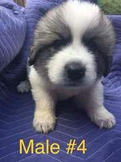 Great Pyrenees Puppy For Sale in COLDWATER, MS, USA
