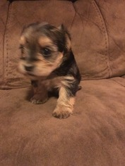 Morkie Puppy For Sale in NEW MARKET, AL, USA