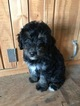 Aussiedoodle Puppy For Sale in ODIN, IL, USA