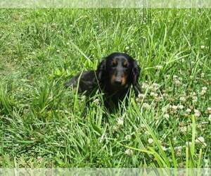 Father of the Dachshund puppies born on 01/26/2021