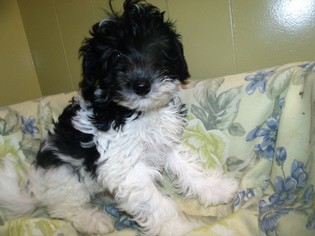 View Ad: Havanese-Poodle (Toy) Mix Puppy for Sale, New