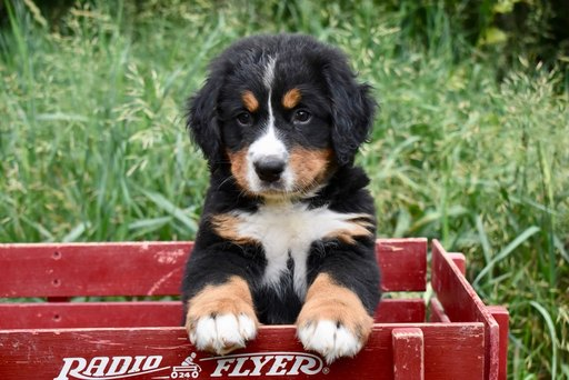 View Ad Bernese Mountain Dog Litter Of Puppies For Sale
