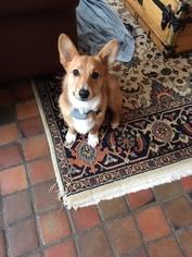 Pembroke Welsh Corgi Puppy For Sale in ERIE, PA, USA
