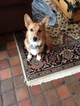 Pembroke Welsh Corgi Puppy For Sale in ERIE, PA, USA