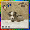 Oahu Toy Small Mini Red Merle Male Aussie