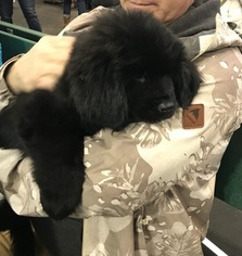 Newfoundland Puppy For Sale in STOWE, VT, USA