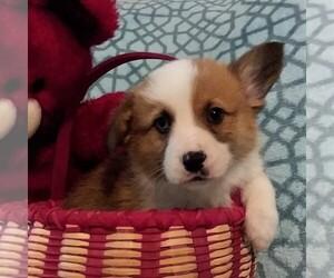 Pembroke Welsh Corgi Puppy for sale in LATHAM, MO, USA