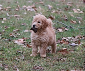 Goldendoodle Puppy for sale in BRIGHTON, MO, USA