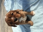 Cavalier King Charles Spaniel Puppy For Sale in OWENS CROSS ROADS, Alabama,