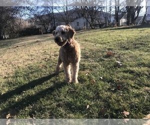 Mother of the Goldendoodle-Irish Doodle Mix puppies born on 08/27/2020