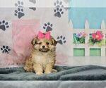 Puppy 2 Pom-A-Poo-Poodle (Toy) Mix