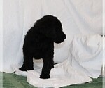 Small #3 Poodle (Standard)