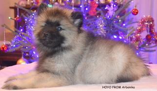 Keeshond Puppy for sale in Sicienko, Kujawsko-Pomorskie, Poland