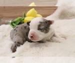 Small #2 Australian Shepherd