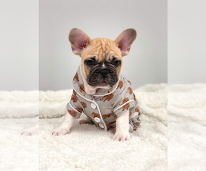 French Bulldog Puppy for sale in BATTLE CREEK, MI, USA