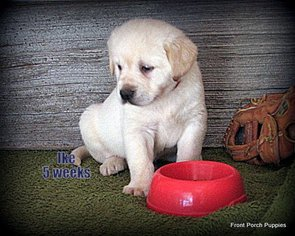 Golden Labrador Puppy For Sale in DUE WEST, SC