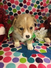 Pembroke Welsh Corgi Puppy For Sale in BEMIDJI, MN, USA