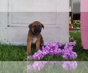 Boxita Puppy for sale in SUGARCREEK, OH, USA