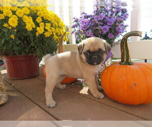 Jug Puppy for Sale in MOUNT SOLON, Virginia USA