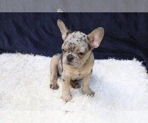 Bulldog Puppy for sale in BRUNSWICK, ME, USA