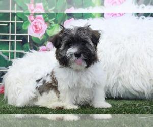 Havanese Puppy for sale in MARIETTA, GA, USA