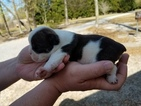 Olde English Bulldogge Puppy For Sale in LAMAR, SC