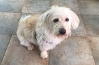 Australian Labradoodle Dog For Adoption in MARIETTA, GA, USA
