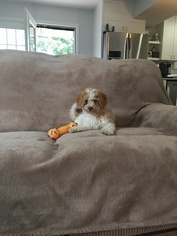 Cavapoo Puppy For Sale in WASHINGTON, DC, USA