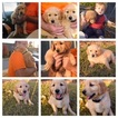 Golden Retriever Puppy For Sale in CAVE SPRINGS, AR, USA