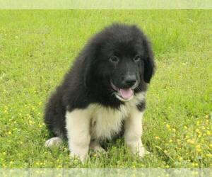 Border Collie-Great Pyrenees Mix Puppy for sale in SHAWNEE, OK, USA