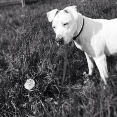 Sugar - American Bulldog / Dalmatian / Mixed (short coat) Dog For Adoption