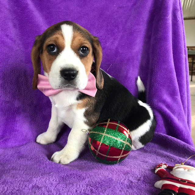 View Ad: Beagle Puppy for Sale near Belgium