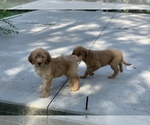 Small #26 Goldendoodle-Poodle (Standard) Mix