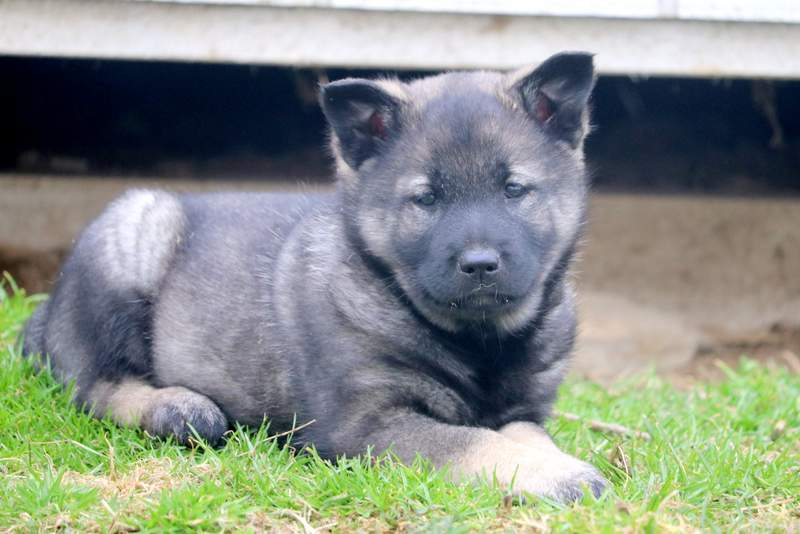 Elkhound Dogs For Sale Ireland