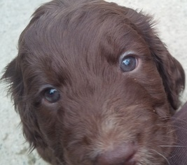 Springerdoodle Puppy For Sale in PROVIDENCE, RI