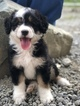 Miniature Bernedoodle Puppy For Sale in LEO, IN, USA